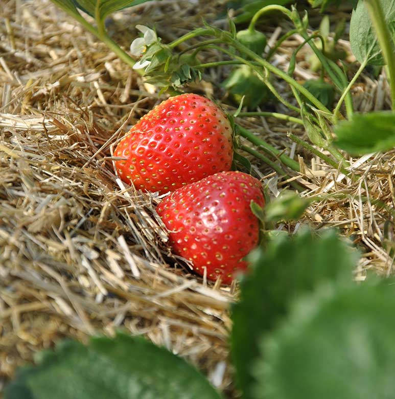 lenabox-garden-slama-jagode